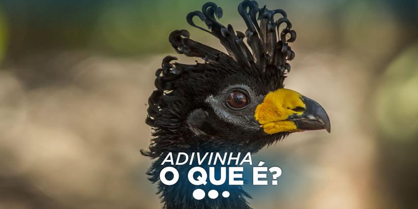 O mutum-de-penacho (Crax fasciolata) é uma espécie ameaçada de extinção (VU) com ocorrência no Brasil, Bolívia, Paraguai e Argentina.