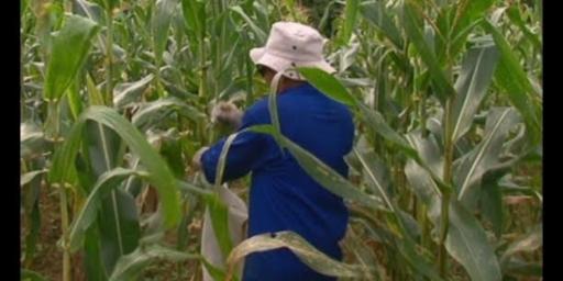 Famílias do Projeto Casulo recebem sementes de milho